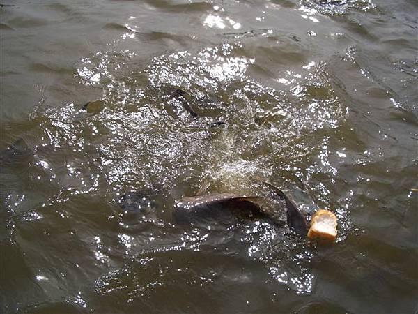 媚南河的魚
