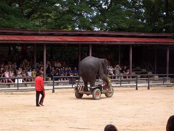 大象表演之腳踏車