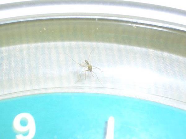 死蚊子正面