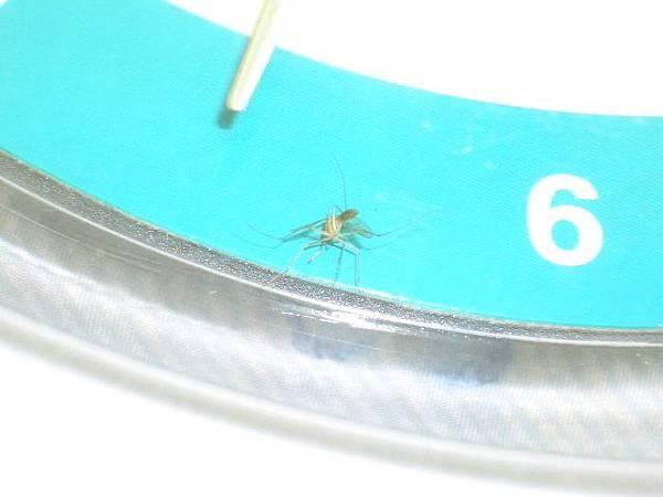 死蚊子反面