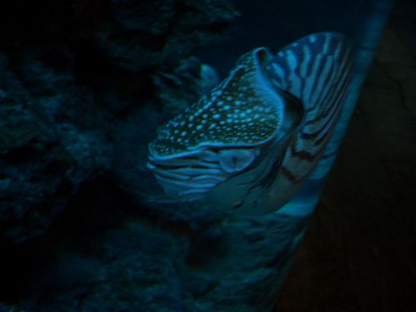 活化石-鸚鵡螺