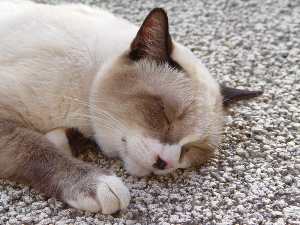 睡到昏的貓