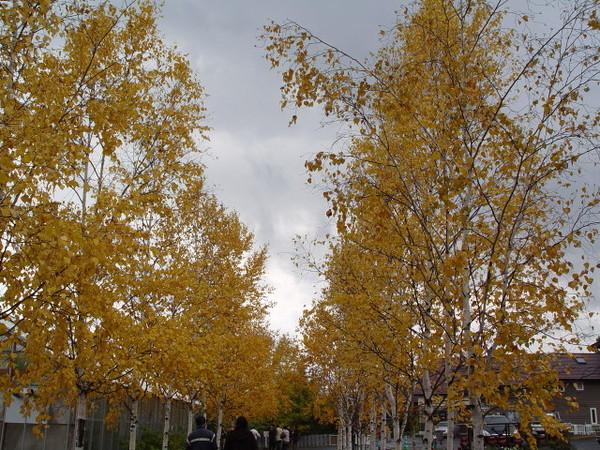 黃色的樹葉
