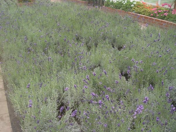 溫室裡的薰衣草