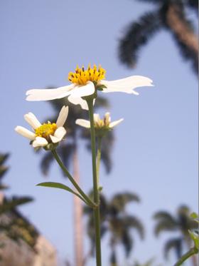 大花咸豐草1