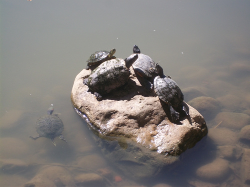 烏龜曬太陽1