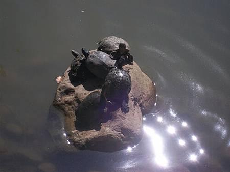 烏龜曬太陽3