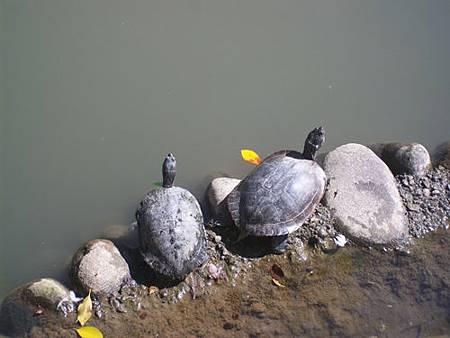 烏龜曬太陽4