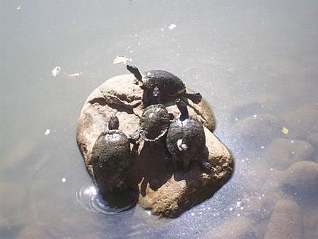 烏龜曬太陽5