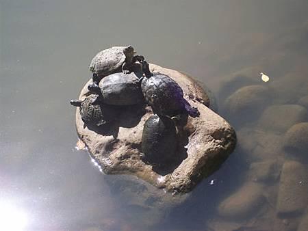 烏龜曬太陽6