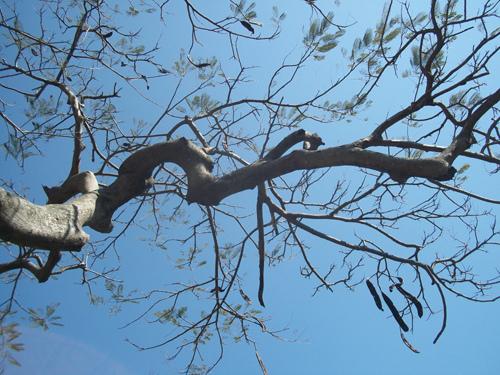 冬陽與鳳凰樹