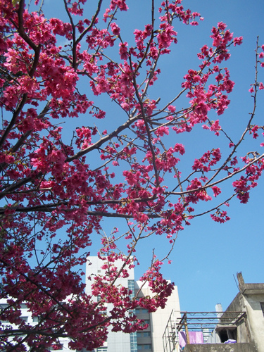 市場邊的山櫻花