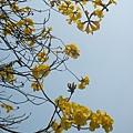 黃金風鈴木1