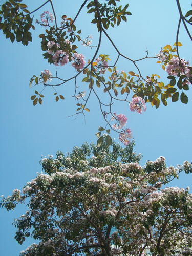 粉紅風鈴木1