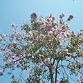 粉紅風鈴木3