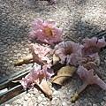粉紅風鈴木4