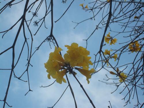 黃花風鈴木1
