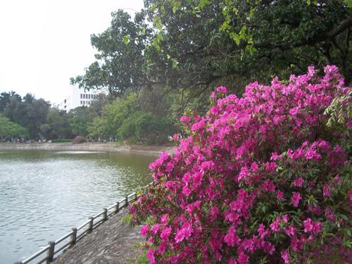 湖畔杜鵑1