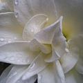 雨中的重瓣孤挺花