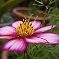 小妹種的波斯菊