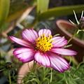 小妹種的波斯菊1