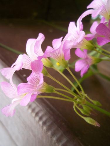 酢醬草花4
