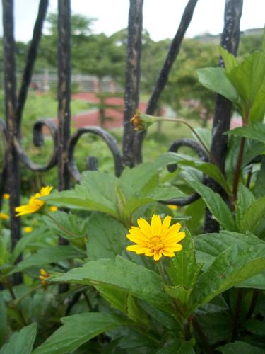 南美蟛蜞菊