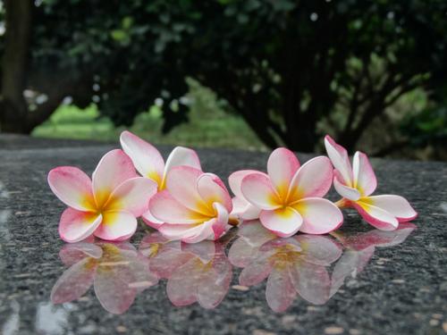 竹湖畔的緬梔花