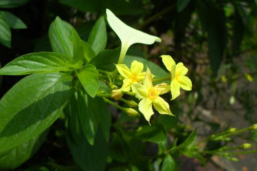 玉葉金花1