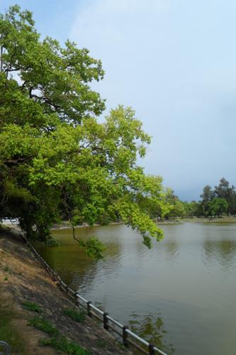 湖岸烏桕樹