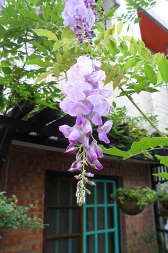 紫藤花07-19