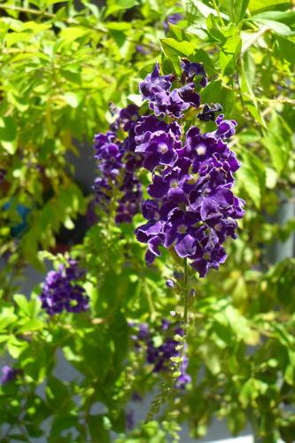 深紫金露花