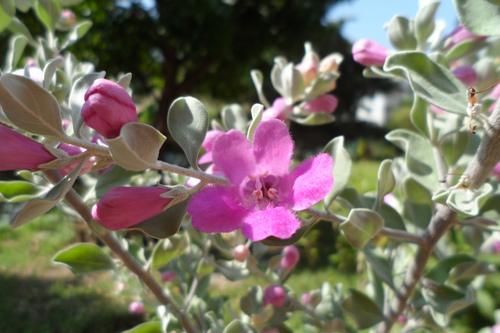 紅花玉芙蓉