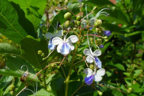 藍蝴蝶(紫蝶花)