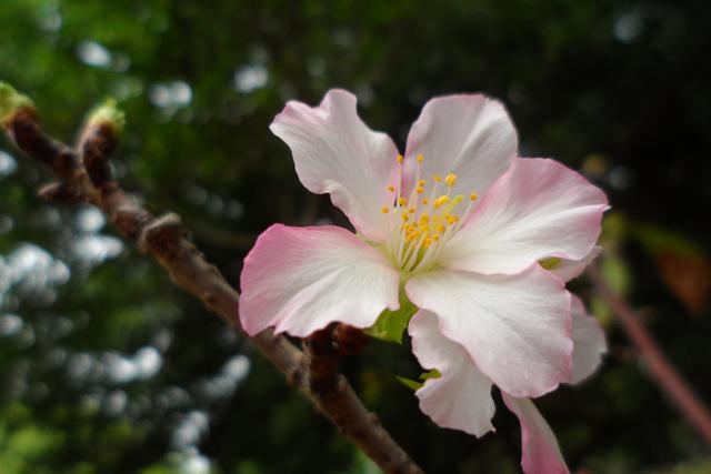 20141026麗池櫻花