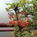 台東火刺木8