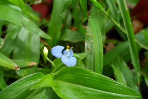 不知名藍色小花2