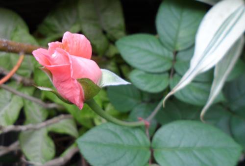 我的陽台/玫瑰花1