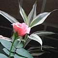 我的陽台/玫瑰花2