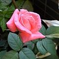 我的陽台/玫瑰花5