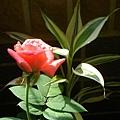 我的陽台/玫瑰花6