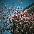 交大˙美人樹1