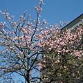 交大˙美人樹2