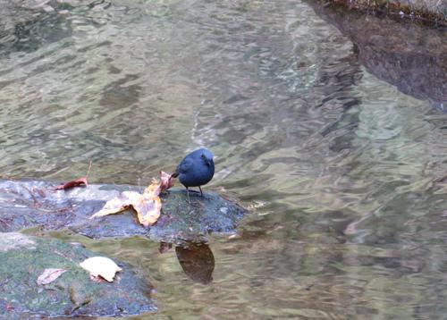 杉林溪~鉛色水鶇