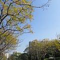 台灣欒樹黃葉2