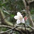 台北奧萬大旅途中的櫻花