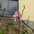 玻工館櫻花1