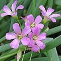紫花酢醬草