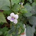 小花寬葉馬偕花