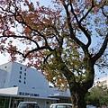 02清大湖畔烏桕樹